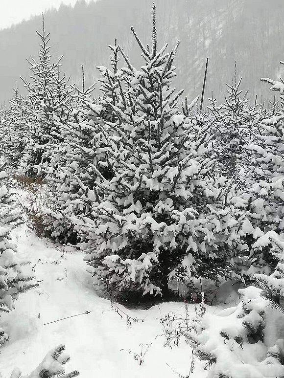 白山市的云杉。图片来源:陈光达