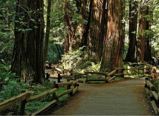 美国加州五棵巨大红杉突然倒下 无妄之灾致1死1伤