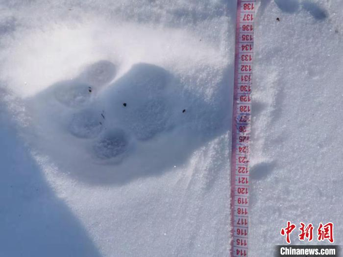 黑龙江海林林区发现野生东北虎足迹(图)图片