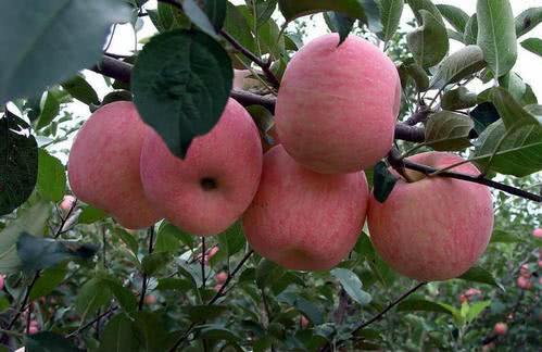 看到百亩苹果的丰收 果农们愁了
