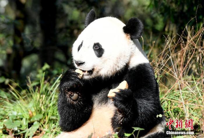 """海归大熊猫""""贝贝""""入住新家 正式与公众见面(图)图片"""