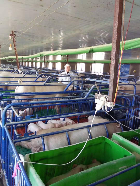 养殖场内,每一头母猪都有单独供热设备。受访者供图