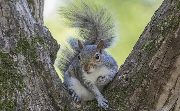 灰松鼠(图源:《每日邮报》)