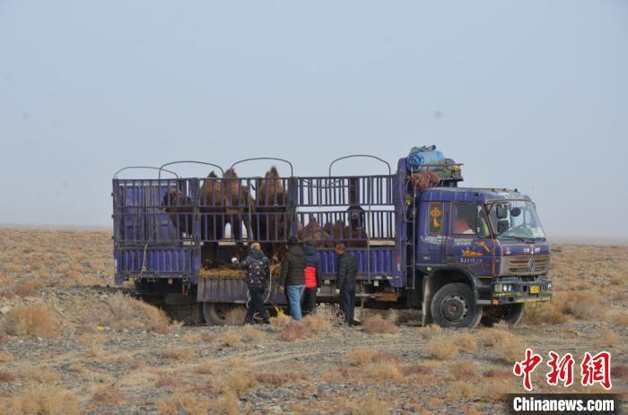 甘肃敦煌西湖保护区放归攻击性野骆驼 配备GPS项圈适时监测