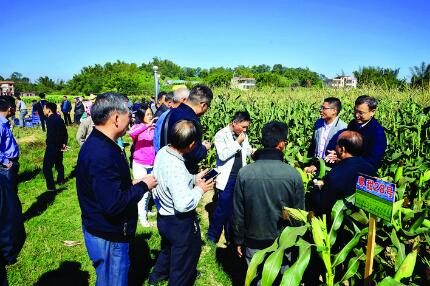 惠城汝湖举办农作物(玉米、水稻)优新品种展示观摩会