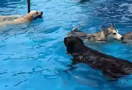 网友带狗子到泳池游泳,没想到接下来看到这些二哈,瞬间笑劈叉了...