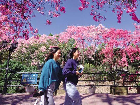 近日,广州天气晴好,广州大学华软软件学院校园内丝木棉竞相盛放。(资料图) 记者 夏世焱/摄