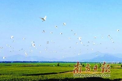 广东首个盐碱地上垦造水田种植海水稻喜获丰收 亩产突破900斤口感也不错
