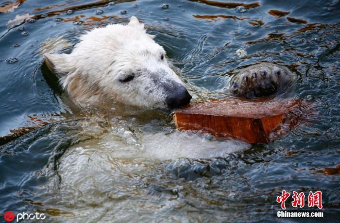 """海冰变薄食物不足 56头北极熊""""奇袭""""俄罗斯村庄"""