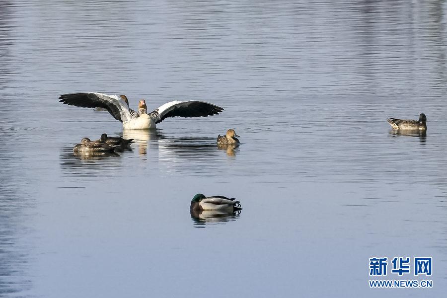 重庆重点保护侯鸟灰雁时隔39年来渝越冬