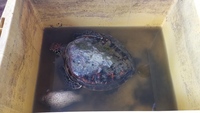 华美官网开户,发现大海龟原来是华美官网开户图片