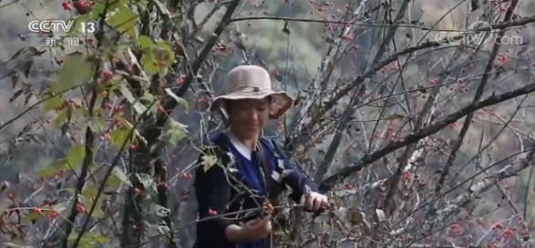 安徽歙县:超5000亩山茱萸丰收 产量倍增图片