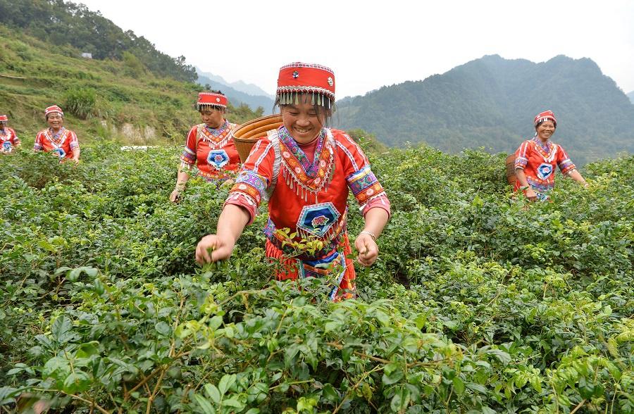 走向胜利丨土家名茶,香飘武陵图片