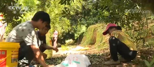 广西梧州:引进种植澳洲坚果 5万亩坚果迎丰收图片