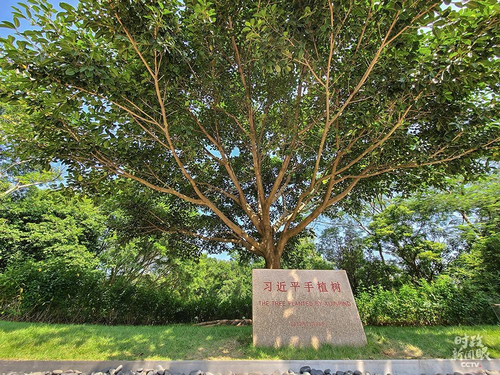 △总书记当年亲手种下的榕树。(总台央视记者赵化拍摄)