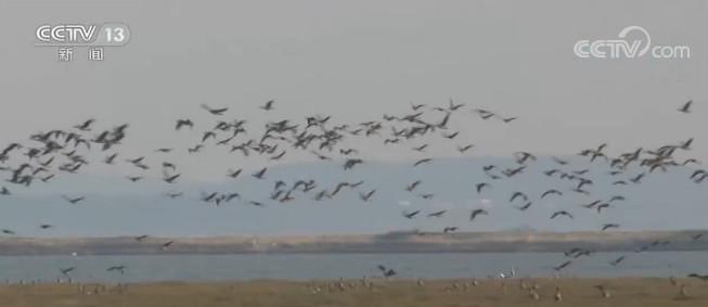 江西都昌:2.6万余只候鸟已飞抵鄱阳湖越冬图片