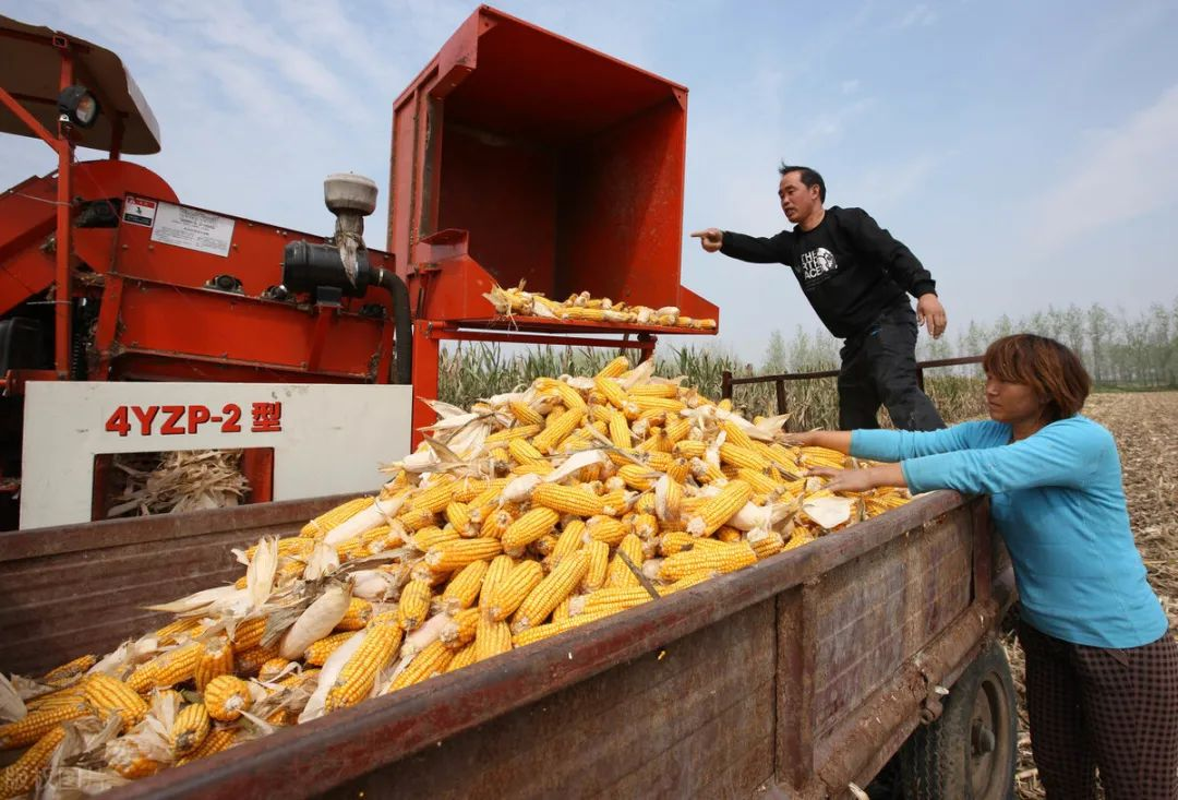刹不住车了,玉米大涨!能涨到多少钱?附:10月15日玉米价格