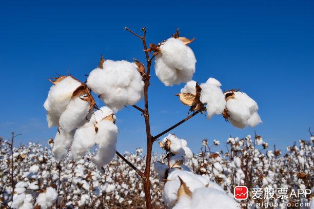 逆风:寒冬来临,棉花涨价预期持续升温!(附股)