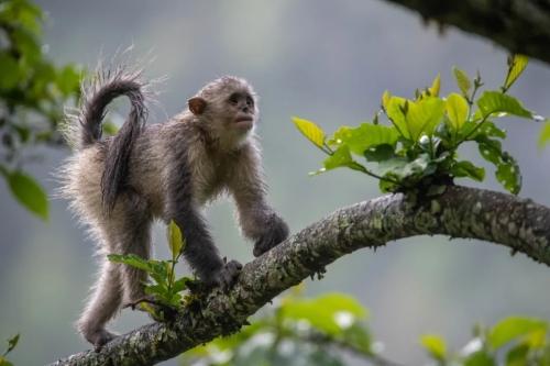 猴金丝滇。