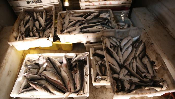 """10人""""电捕鱼""""团伙跨省作案,非法捕捞长江鱼逾4000斤,最高可判3年图片"""