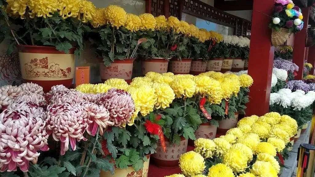 七彩菊、菊花面、菊花饼…3对黑天鹅…都(hui)有的!图片