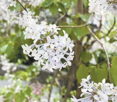 西宁市区种植的丁香花。