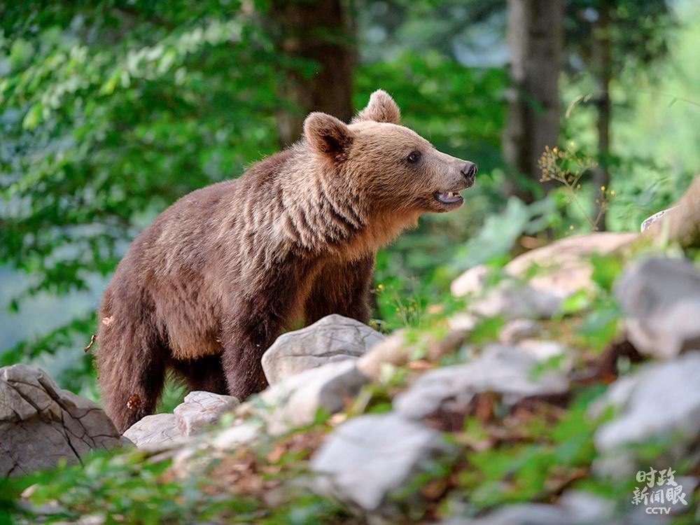 △曾经濒临灭尽的斯洛文尼亚棕熊,在已往的十年里数目翻了一番,到达了1000头。