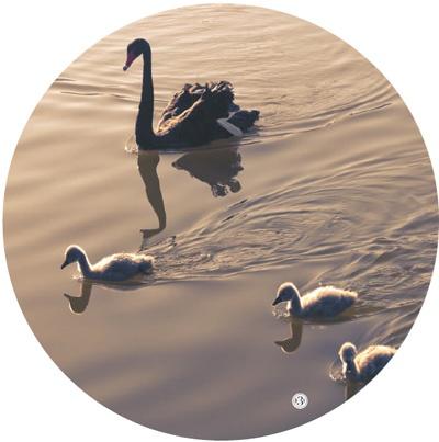 图③:湖北神农架林区大九湖栖息着大量黑天鹅。