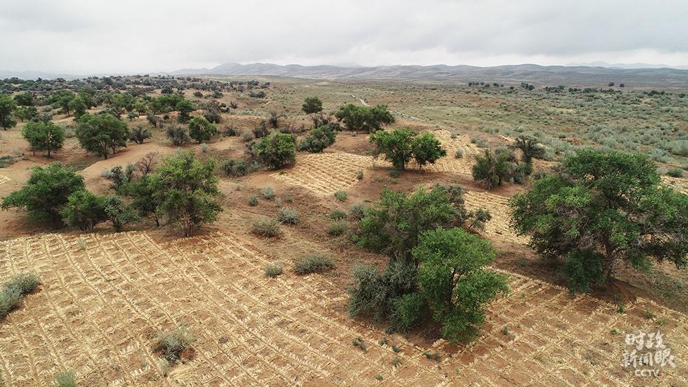 """△甘肃八步沙林场三代治沙人在已往近40年里,累计完成治沙造林20余万亩。""""草方格固沙造林""""是最常用的方法。"""