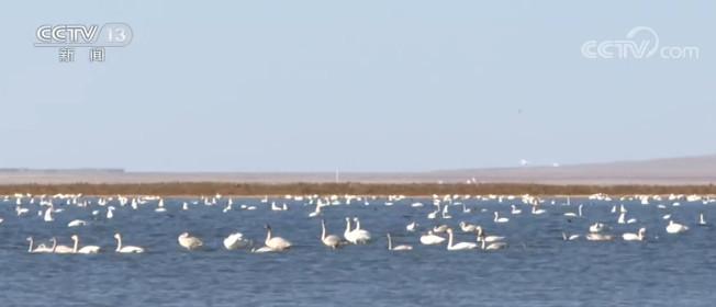 内蒙古达里湖迎来上万只天鹅图片