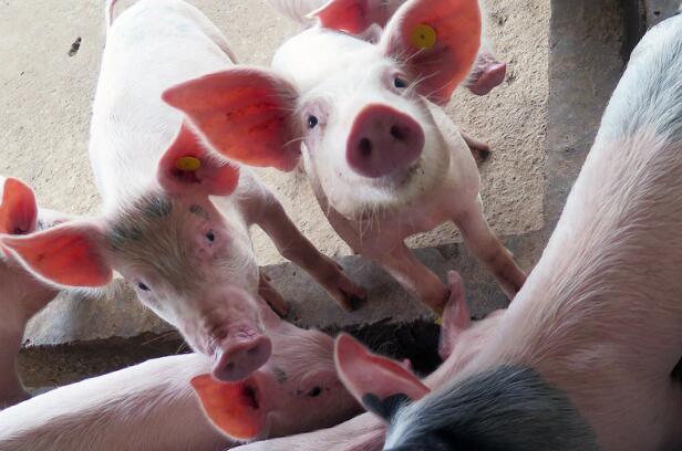 农业农村部:生猪生产恢复 猪肉价格连续7周回落