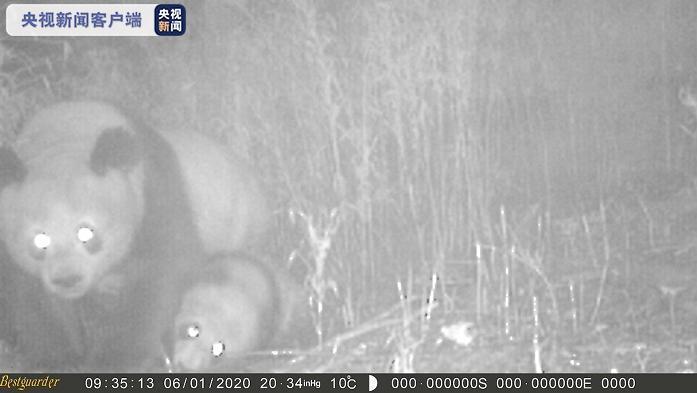 四川美姑大风顶保护区拍到大熊猫母子同框珍贵瞬间图片