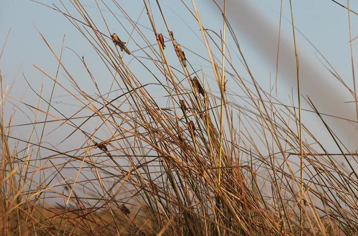 纳米比亚蝗灾进一步恶化 已入侵40万公顷土地