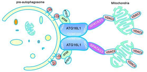 周荣家、程汉华课题组揭示生殖系线粒体自噬的分子调控机制