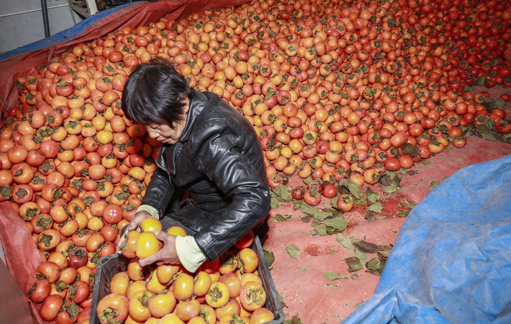 【文化脱贫在行动·陕西篇】小柿子成脱贫致富大宝藏图片