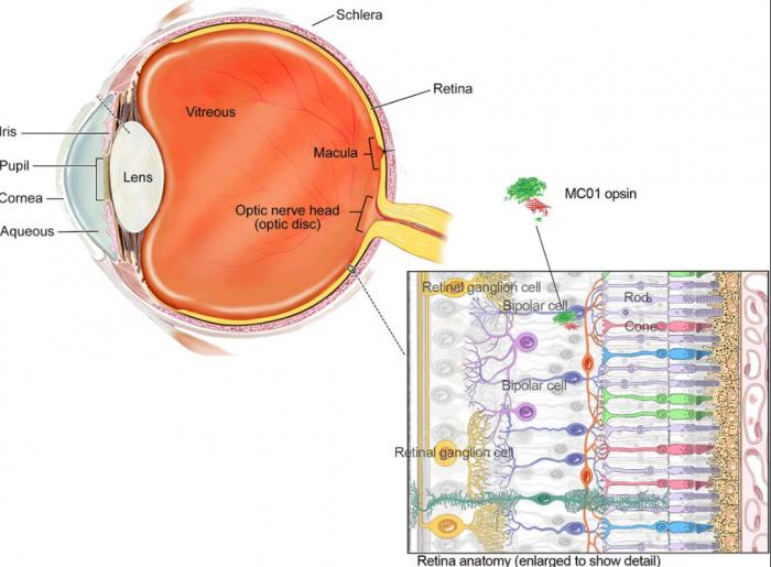 研究人员利用基因疗法使失明小鼠恢复部分视力