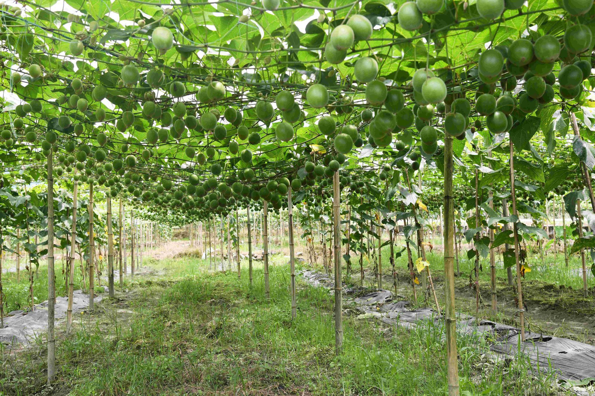 绿油油的罗汉果藤蔓下,硕大的果实挂满枝头