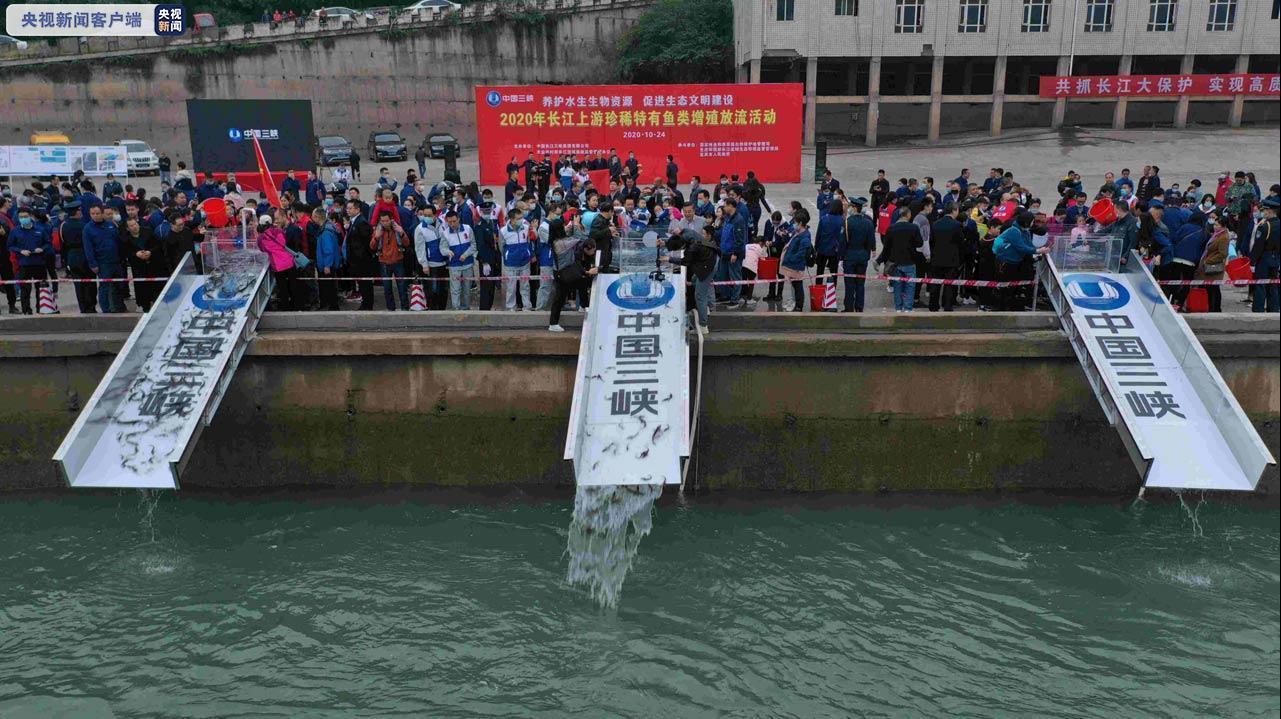 保护生物多样性:25.7万尾珍稀鱼类放归金沙江图片