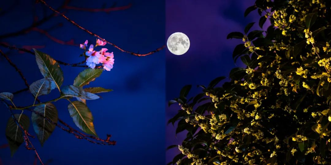 OMG!武大樱花与桂花一同开放啦图片