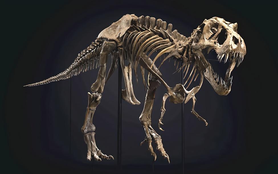 全球最著名霸王龙化石拍出3180万美元 引古生物学家担忧
