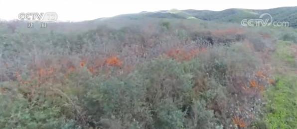 黑龙江林口:沙棘果满枝头 荒山套种喜迎丰收图片