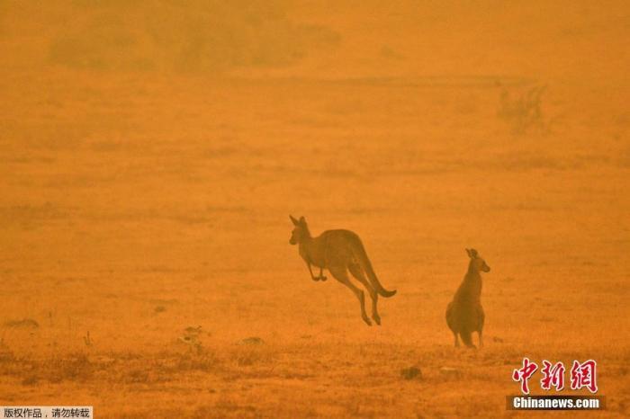当地时间1月4日,澳大利亚Cooma,两只袋鼠在浓烟弥漫的田野上跳跃。