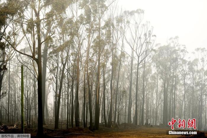 图为澳大利亚伊登小镇大火过后的树林。