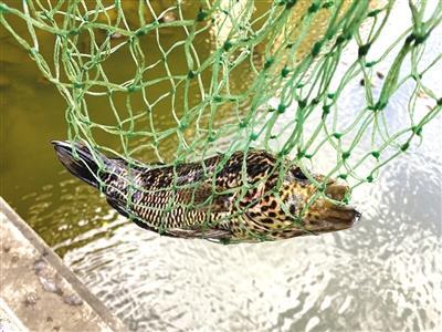 这条鱼不常见,哪来的?海口市民钓到尼加拉瓜淡水石斑鱼,疑放生或从养鱼池里跑出