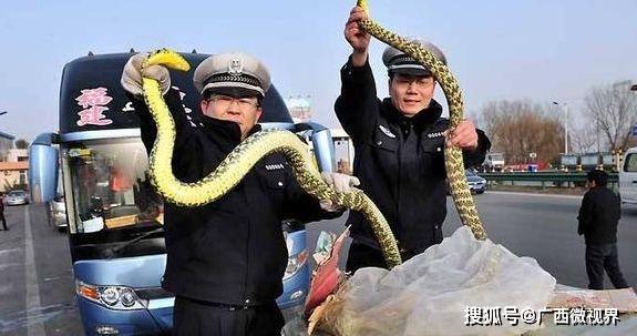 为什么在农村的菜花蛇不但不怕眼镜蛇,反而可以制服并吃掉眼镜蛇