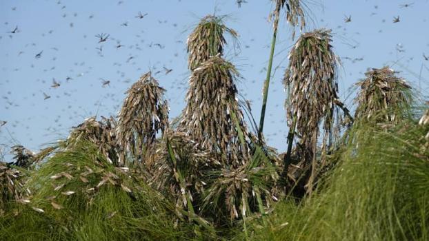 南部非洲国家蝗灾持续 加剧该区域粮食短缺问题