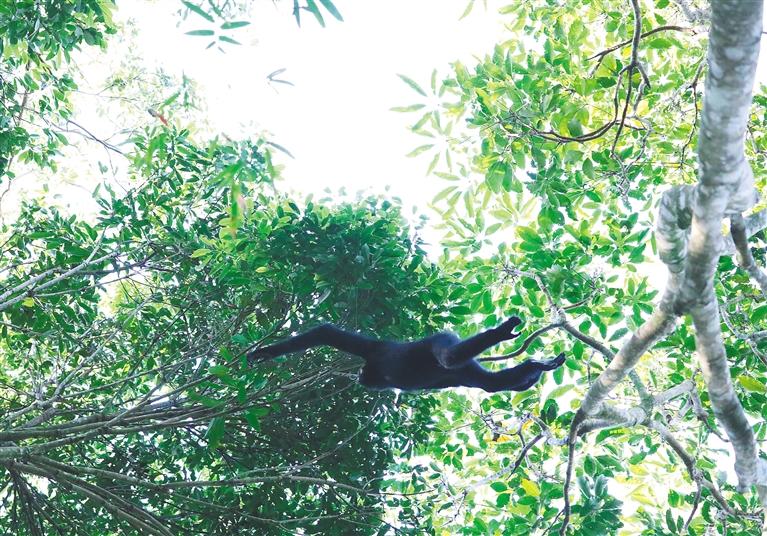 长臂猿野外调查首次启用无人机,并收集鸣叫信息建声音数据库图片
