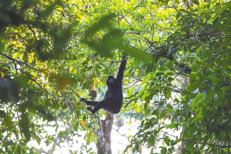 在白沙黎族自治县青松乡斧头岭一带运动的海南长臂猿。 海南日报记者 李天平 摄