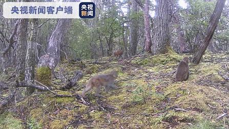 惊喜!云南白马雪山保护区拍摄到多种珍稀濒危野生动物活动影像图片