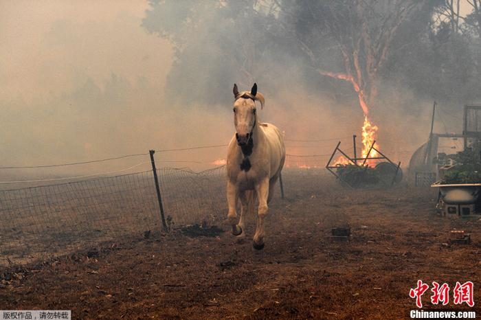 澳大利亚新南威尔士州诺瓦镇附近,丛林大火来临时,一匹马试图逃离住宅。